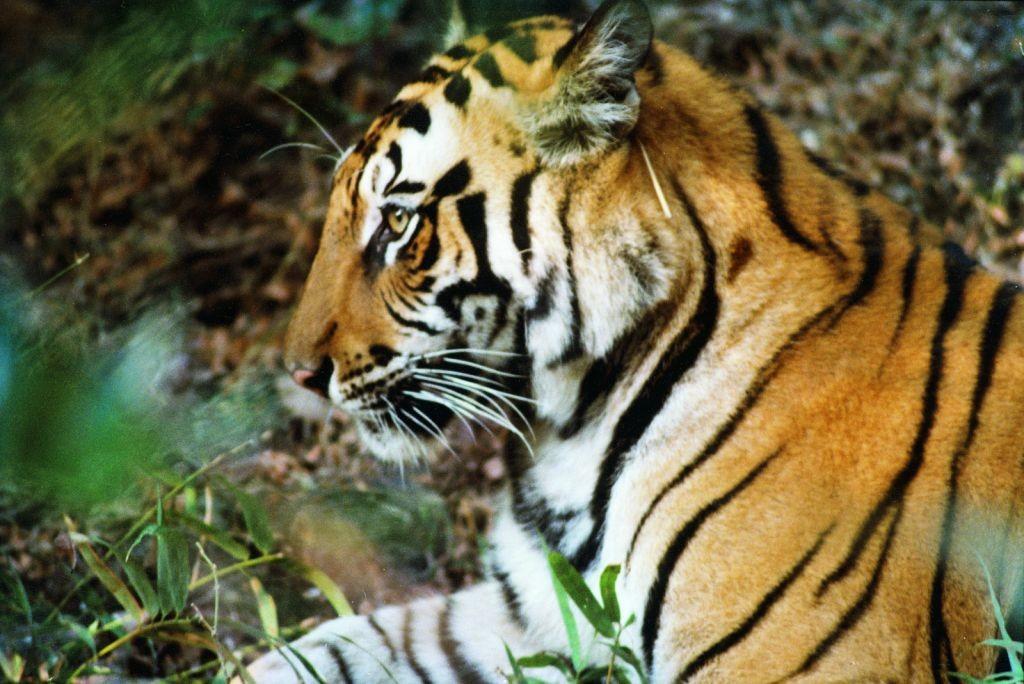 bg_tiger_1