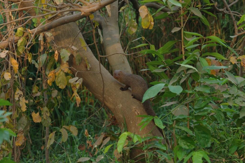 An Indian grey mongoose