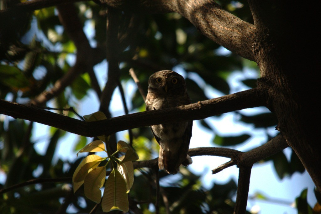 A spotted owlet