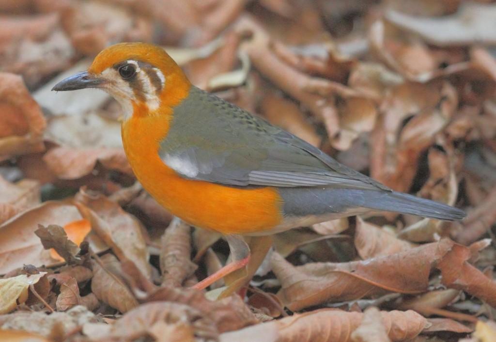 orange_headed_groundthrush1