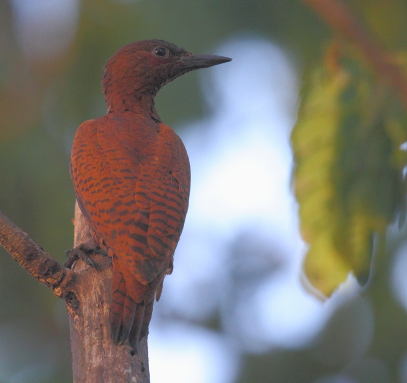 rufous_woodpecker