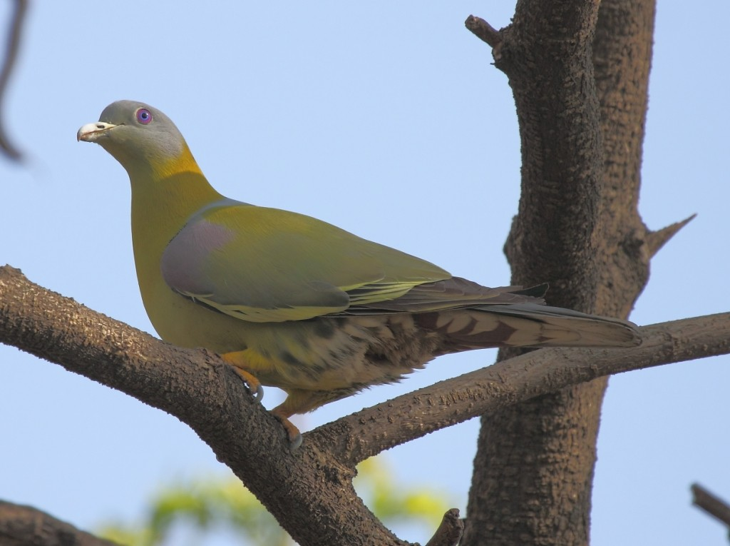 yellow_footed_green_pigeon