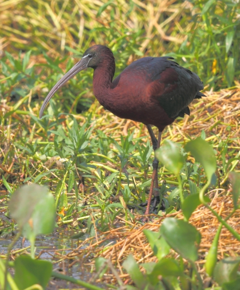 glossy_ibis2