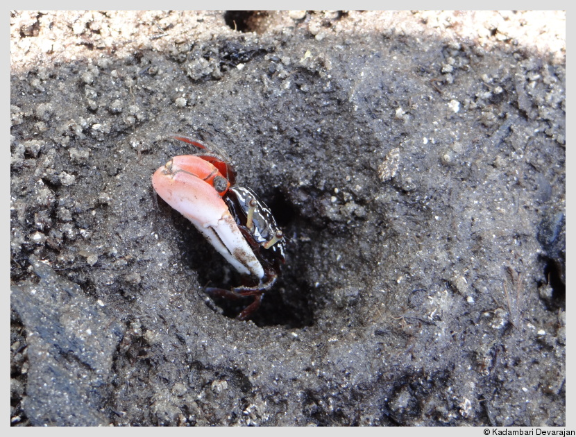 A right-handed fiddler crab