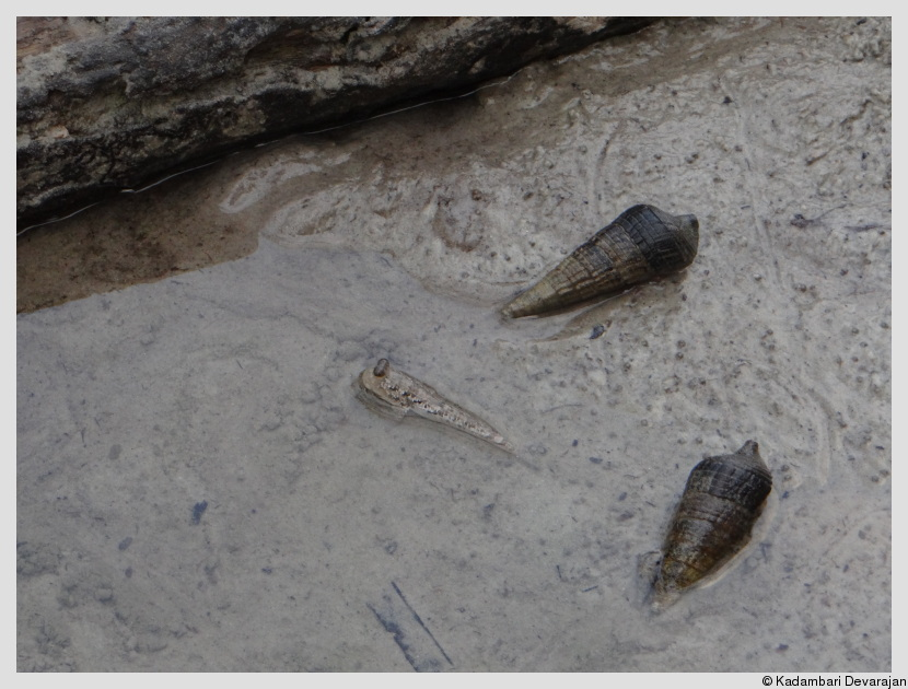 Mudskipper skipping through a maze of Teribralia