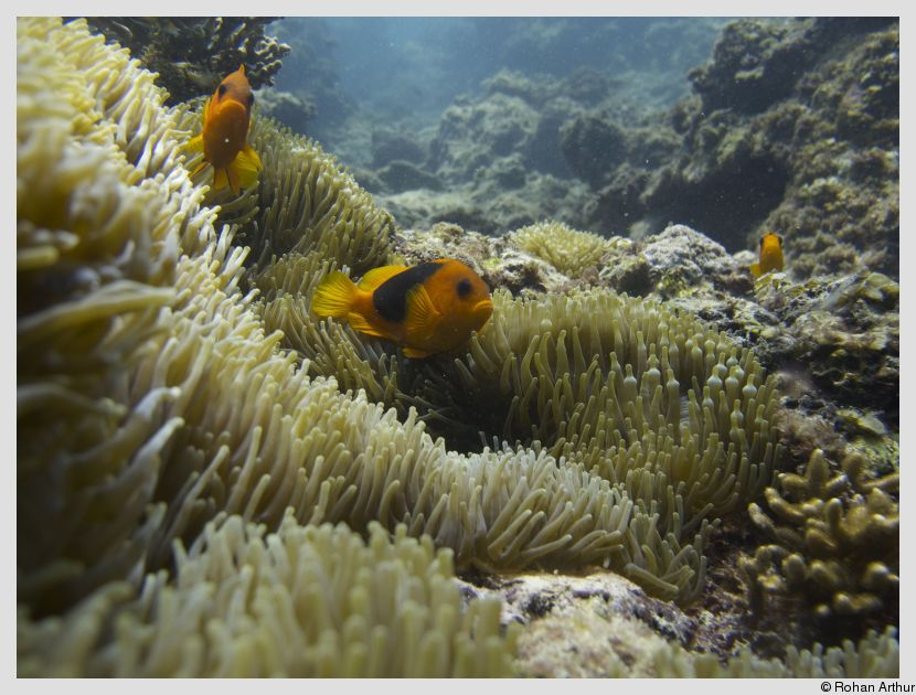 Clownfish amongst the anemones