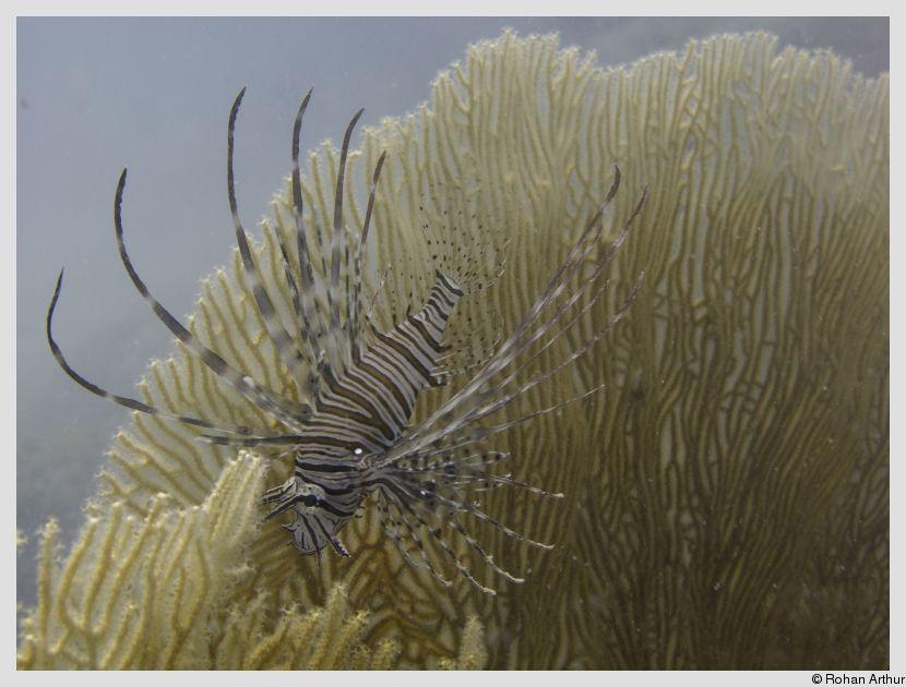 Lionfish near a gorgonian