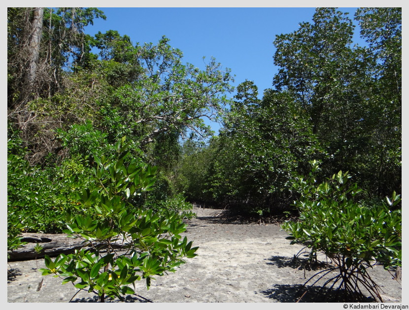 A mangrove at low tide